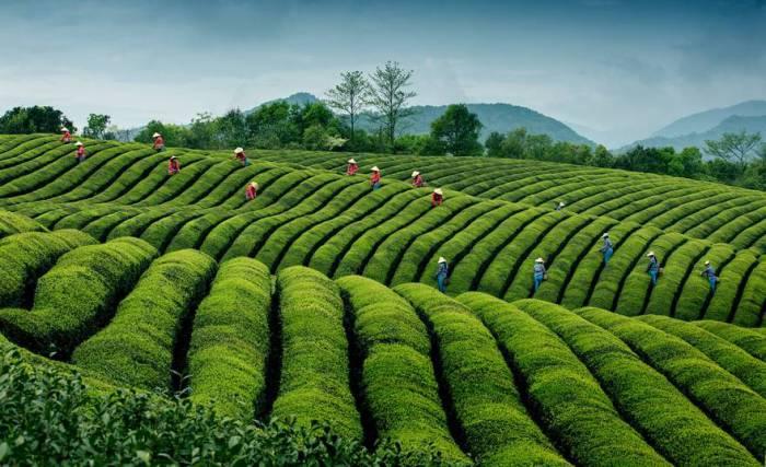 Сбор урожая на экологической чайной плантации в селе Йинлу в провинции Чжэцзян, Китай. Автор фотографии: Хонг Динг (Hong Ding).