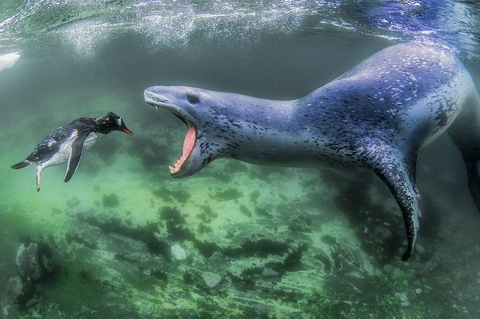 1-е место в номинации «Животные в естественной среде» занял снимок «Столкновение с реальностью» фотографа Амоса Нахума (Amos Nachoum).