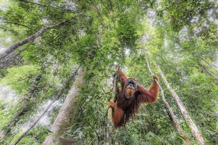 Почетного упоминания в категории «Животные в естественной среде» удостоился снимок «Висящий в первозданном лесу», сделанный фотографом Марко Гайотти (Marco Gaiotti).