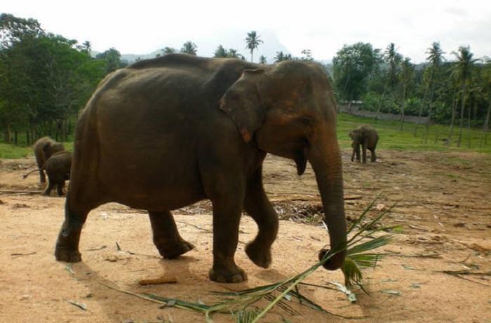 Беременная слониха.