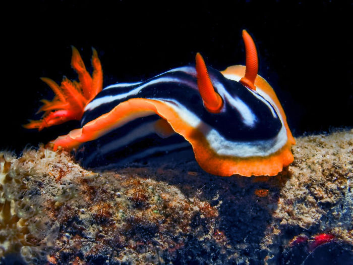 Самый обычный голожаберный моллюск, обитающий в Красном море и достигающий размера до 5 см.