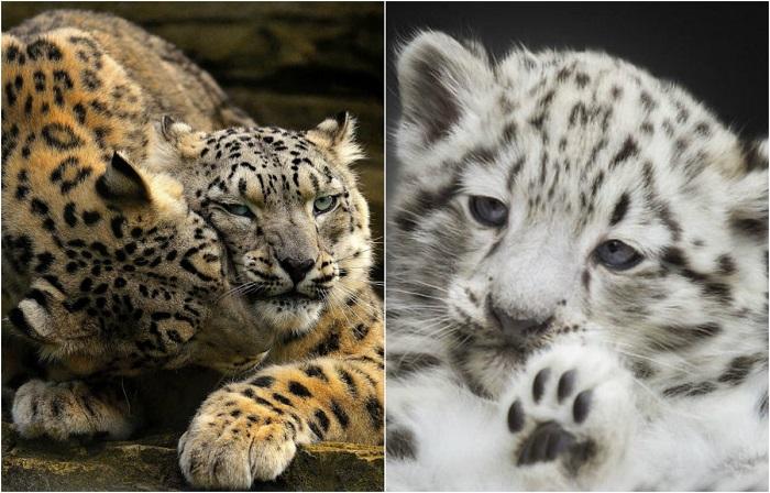 Снежные барсы больше не входят в число вымирающих видов.