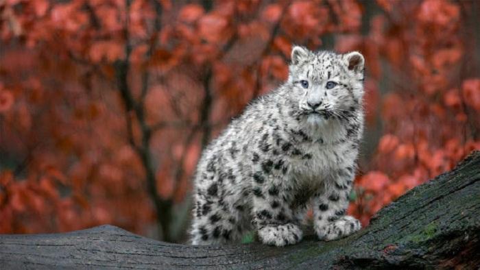 Снежный барс – очень скрытное существо, увидеть его в местах обитания - большая редкость.