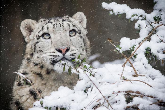 Длинный, густой и очень теплый мех, который обеспечивает защиту от холода и суровых условий среды обитания, является гордостью снежных барсов.