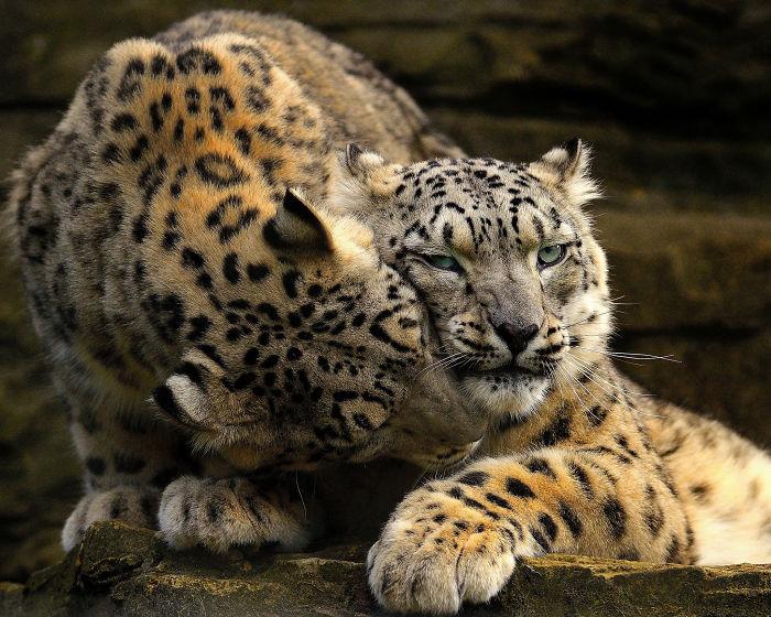 В дикой природе снежные барсы живут около 11-13-ти лет, в неволе доживают до 21 года, но позволить себе такой редкий экспонат могут не все зоопарки.