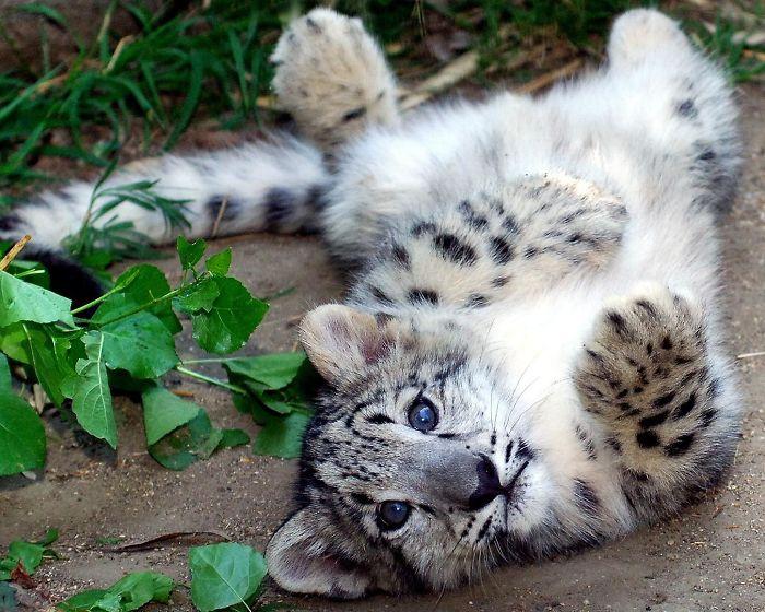 Единственным настоящим врагом снежных барсов является человек - эти кошки всегда были желанным охотничьим трофеем, ведь мех этих животных очень высоко ценится.