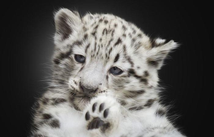 Эти величественные и благородные пятнистые хищники является малочисленным и уязвимым видом животных.
