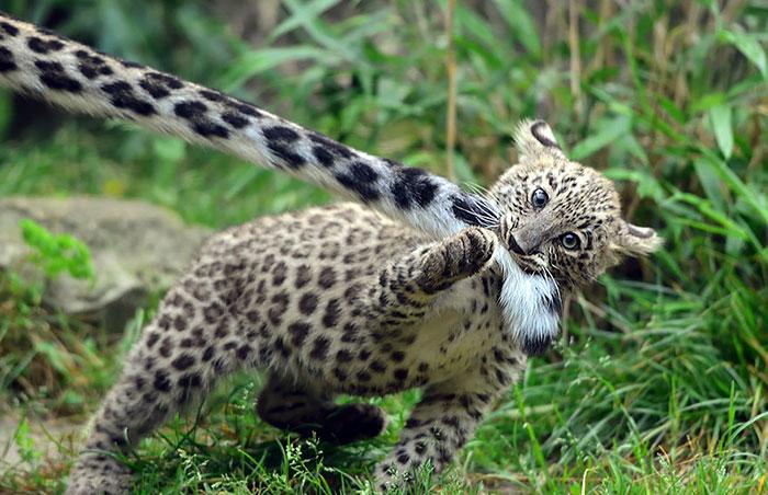 Снежный барс умеет мурлыкать и не умеет рычать – этим он отличается от других больших кошек.