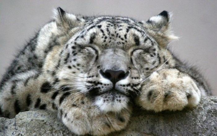 Ирбисы обычно активны в сумерках, охотятся перед закатом солнца или утром на рассвете, а днём снежные барсы отдыхают, спят и лежат на скалах.