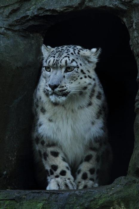 Красивый, грациозный и сильный снежный барс предпочитает вести одиночный образ жизни, устраивая логово в пещерах и расселинах скал, часто под нависшей плитой.