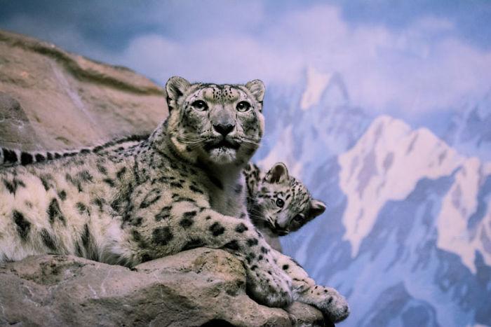 Снежные барсы, которые содержатся в зоопарках, имеют важное значение для сохранения разнообразия и численности этого вида.