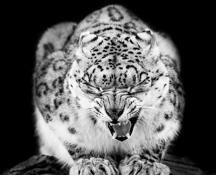 Грациозные пятнисто-серые кошки, живущие на высоте до 6000 метров над уровнем моря, долгое время оставались загадкой для исследователей.