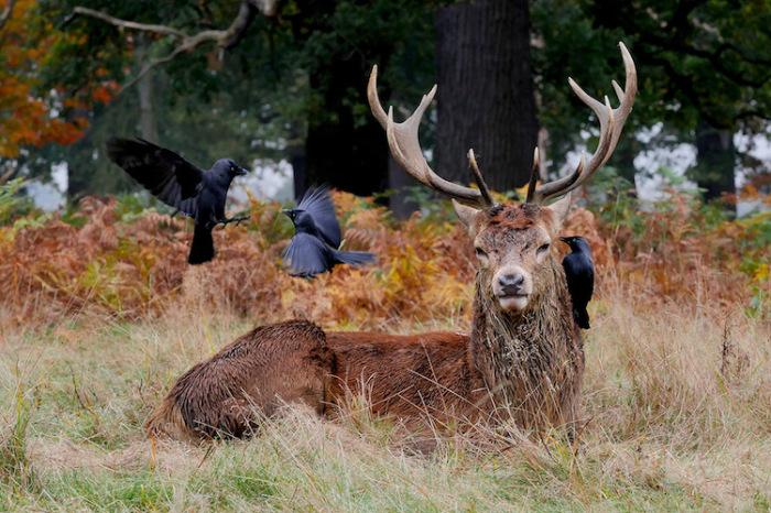 Величественный олень возлежит на поляне в окружении трех воронов. Автор фотографии: Liam Thomson, Великобритания.