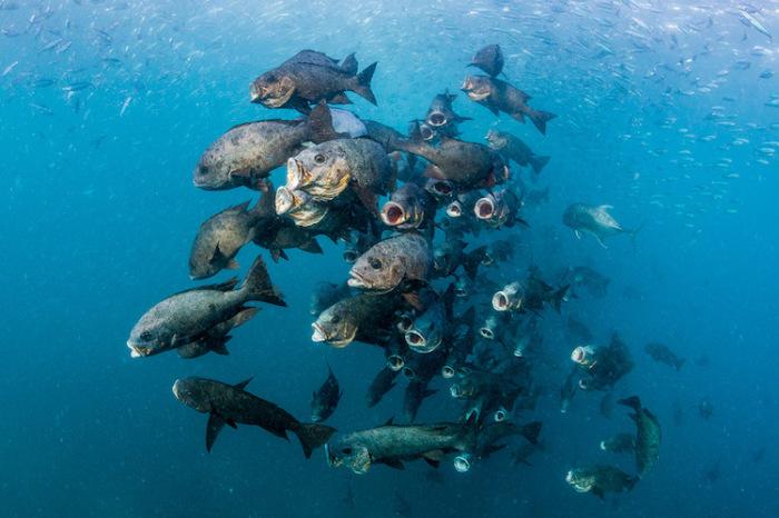 Большие рыбы ловят свой обед. Автор фотографии: Noel Guevara, Филиппины.