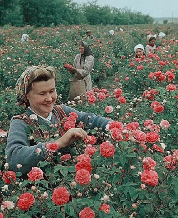 Собранный урожай использовался совхозом-заводом «Красная роза» для создания парфюмерно-косметической продукции.