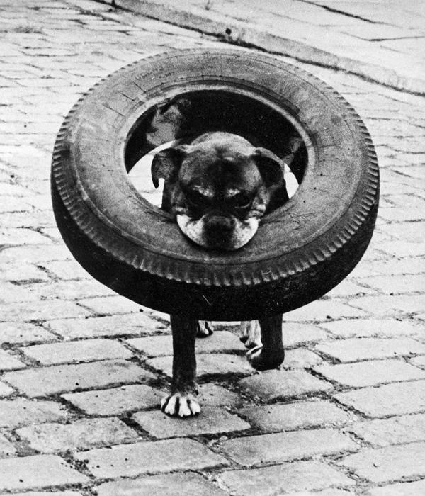 Дворовой пес все, что находит, тянет себе в будку.