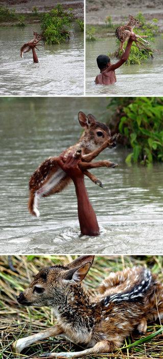 Во время наводнения неподалеку от округа Нокхали в Народной Республике Бангладеш мальчик спас тонущего олененка, отбившегося от своей семьи.