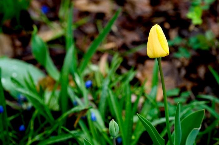 Желтый тюльпан – улыбка, словно солнечный свет.