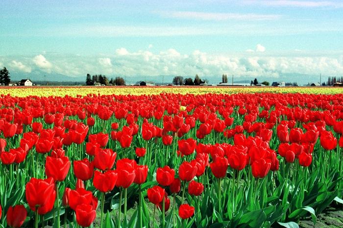 Плантация красочных тюльпанов.
