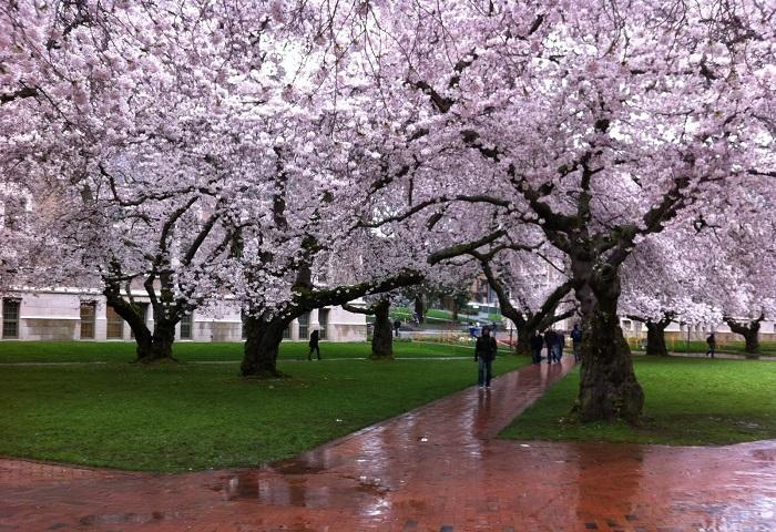 Деревья в весеннем розовом цвету.