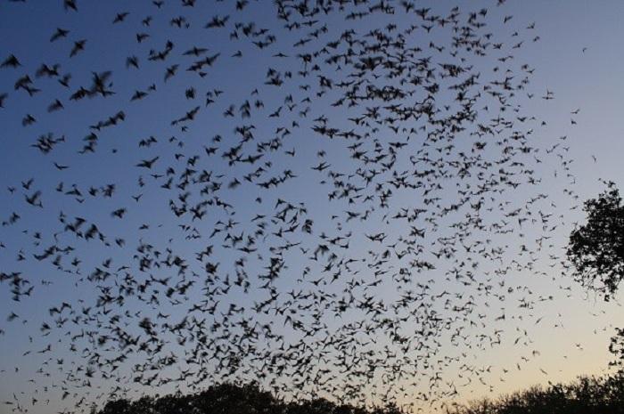 Считается самой большой колонией летучих мышей в мире. Когда мыши покидают пещеру, их группа настолько велика, что на радарах фиксируется огромная предгрозовая туча.