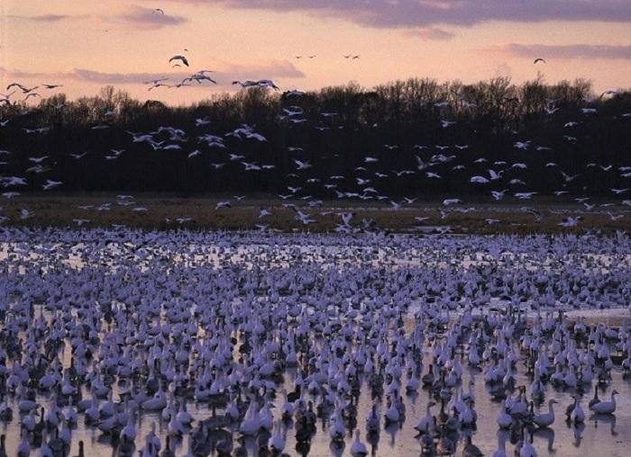 Служит традиционным местом остановки сотен тысяч перелетных птиц.