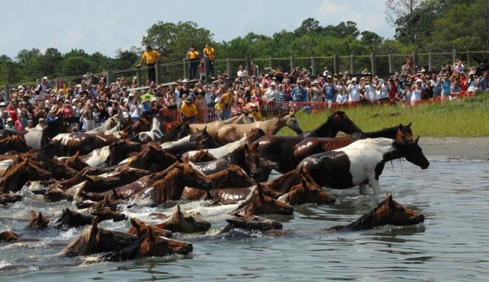 88 лет подряд чинкотигские пони в середине лета преодолевают вброд и вплавь пролив.