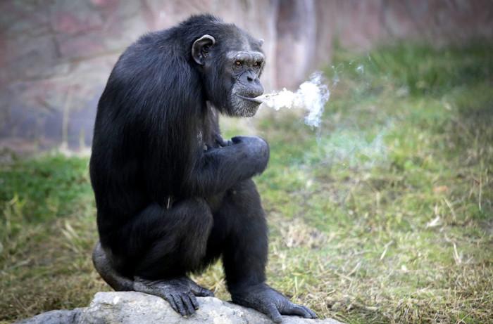 Девятнадцатилетняя самка шимпанзе, курит сигарету в Центральном зоопарке Пхеньяна, Северная Корея.