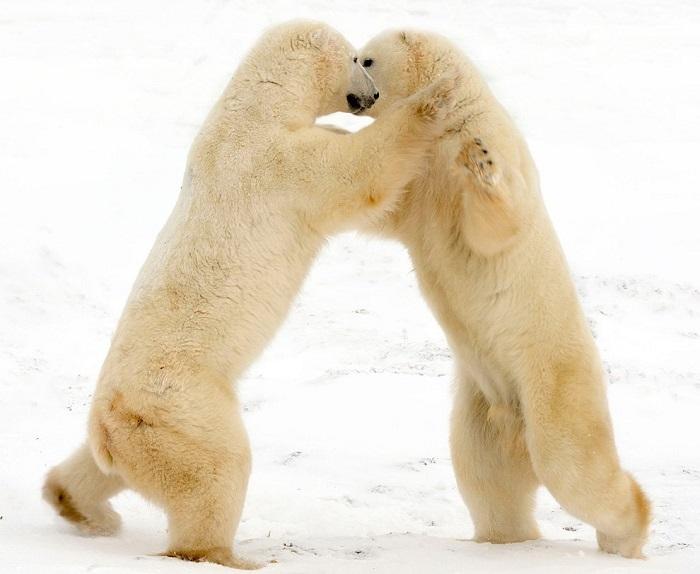 Танцы на льду белых медведей.