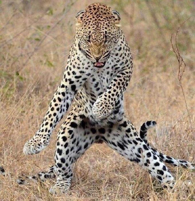 Леопарды — прекрасные танцоры.