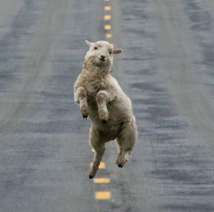Этот маленькой козленок очень любит танцевать и у него это отлично получается.