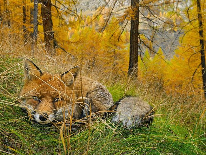 Лиса спряталась в желтеющей траве. Национальный парк Гран Парадизо, Италия. Фотограф Stefano Unterthiner.
