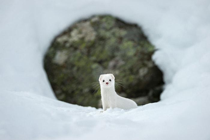 Любопытный зверёк, Национальный парк Гран Парадизо, Италия. Фотограф Stephano Unterthiner.