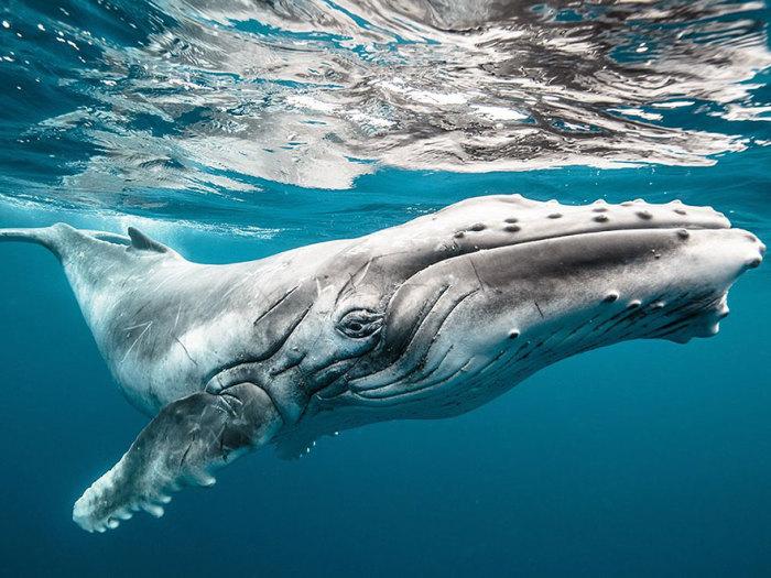 Детёныш горбатого кита - метров пять в длину. Фотограф: Karim Iliya.