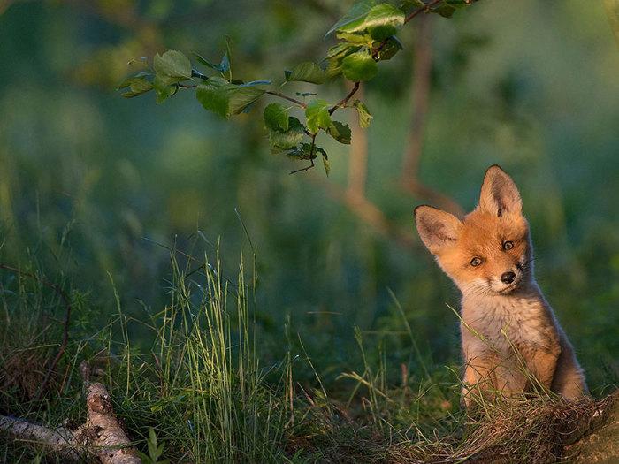 Дружелюбный лисёнок. Фотограф Kalmer Lehepuu.