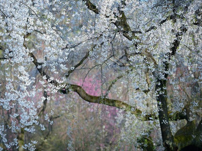 Вишня в цвету, Япония. Фотограф Yukio Miki.