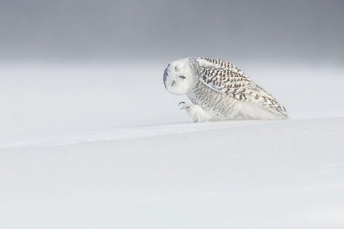 Белая сова в Квебеке, Канада. Фотограф Dominic Roy.