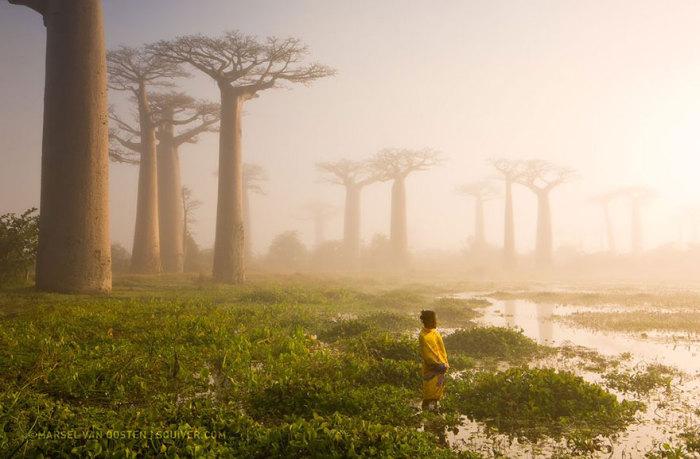 Дерево баобаб является важным источником воды — оно может хранить в стволе до 4 000 литров. Фотограф Marsel van Oosten.