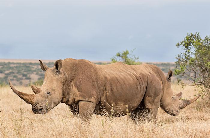 Удачная фотография смущающегося носорога, который спрятался за собратом.