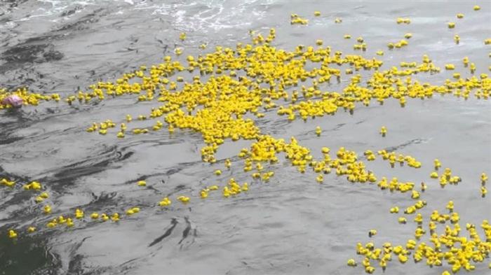 Утки были найдены в Шотландии, на Гавайях и у побережья Северной Америки. Такие уточки очень помогают ученым выяснить приливные направления.