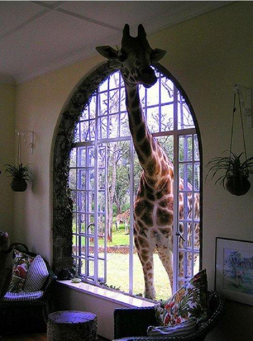 Жирафы часто заглядывают в окна одного кенийского отеля, чтобы получить порцию вкусняшек от проживающих в номерах.