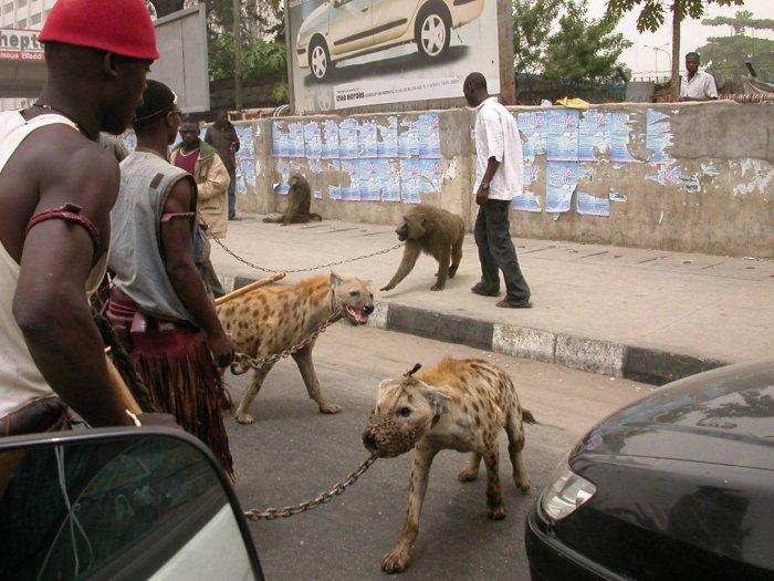 Труппа уличных актеров со своими полудикими питомцами – гиенами и бабуинами.
