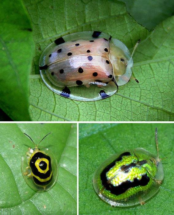 Полупрозрачный панцырь этого жука может менять цвет.