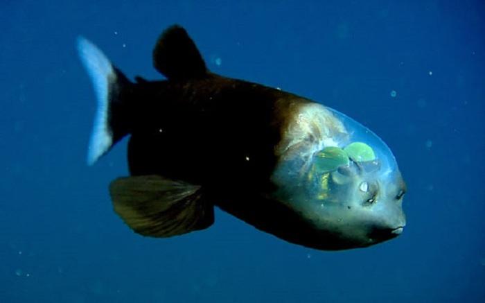 Через прозрачный купол на голве можно рассмотреть глаза рыбы, которые видят только вверх.