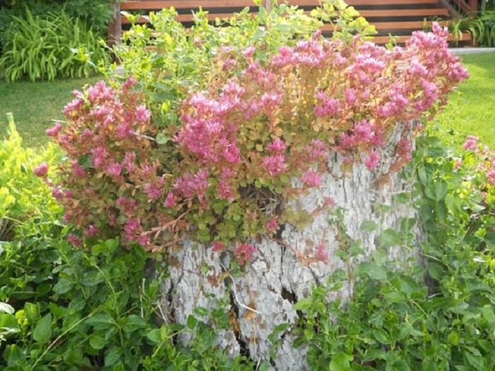 Вьющиеся растения, создают прекрасное обрамление для старого пня.