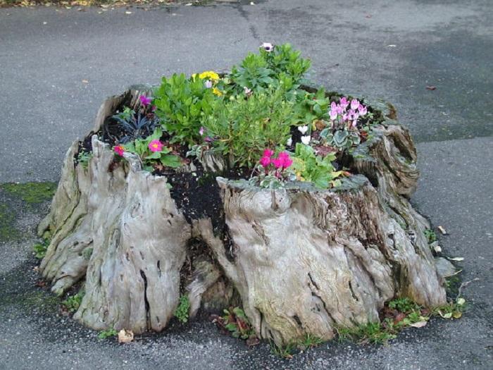 Большая площадь пня позволяет выращивать несколько видов цветущих растений в углублении.