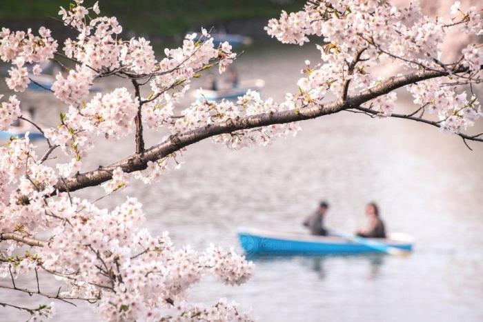 Приятная прогулка вдоль канала, по берегам которого растут деревья японской вишни – сакуры.