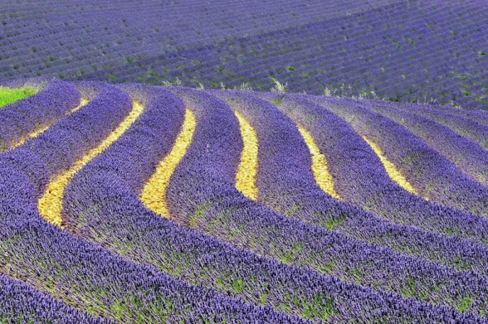 Бесконечные фиолетовые поля, тропы, чистый свежий воздух полный аромата лаванды.