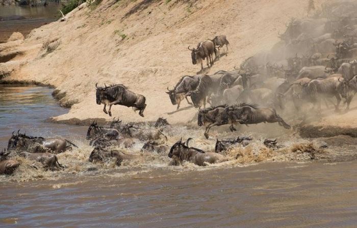 «Великая миграция» – это одно из самых потрясающих зрелищ в мире дикой природы.