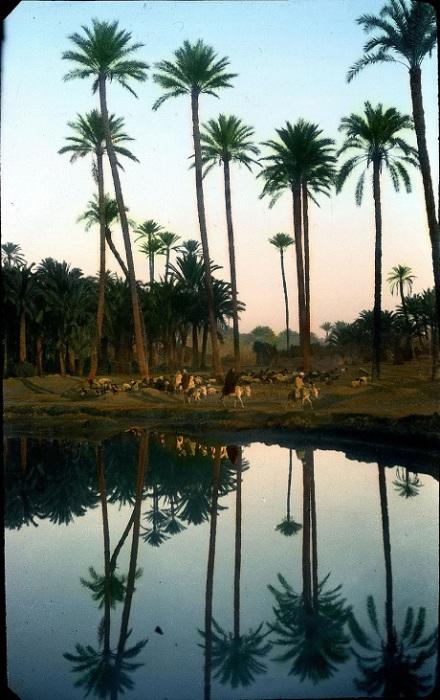 Пальмы, растущие на месте древнего Мемфиса.